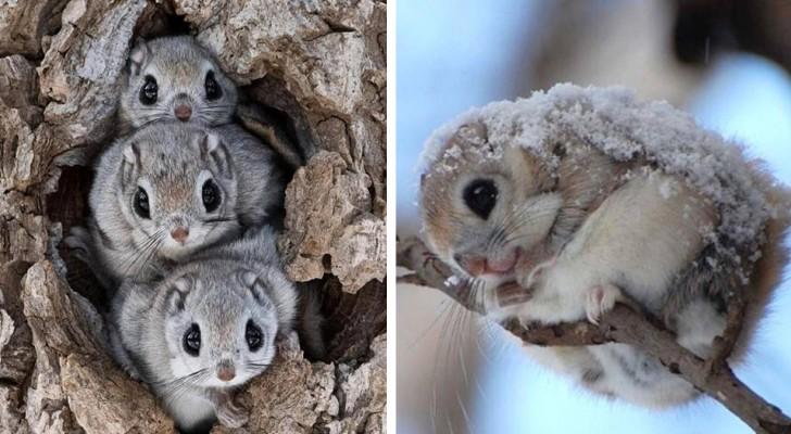 L'écureuil volant japonais est probablement l'un des animaux les plus mignons au monde