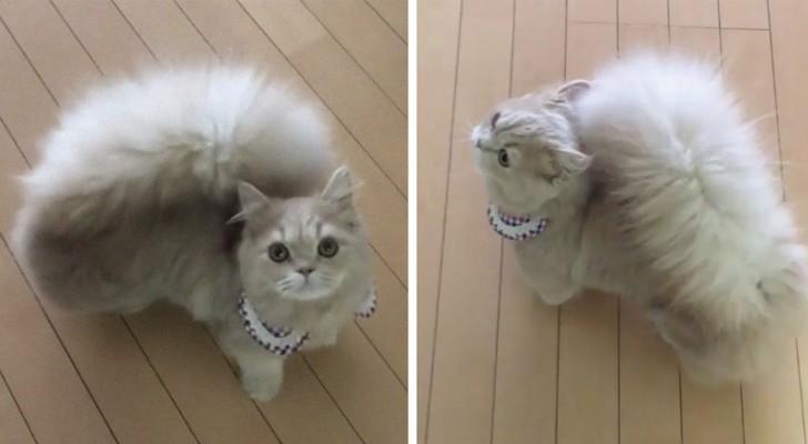 Questa gattina ha una coda così folta e morbida che sembra averla rubata ad uno scoiattolo