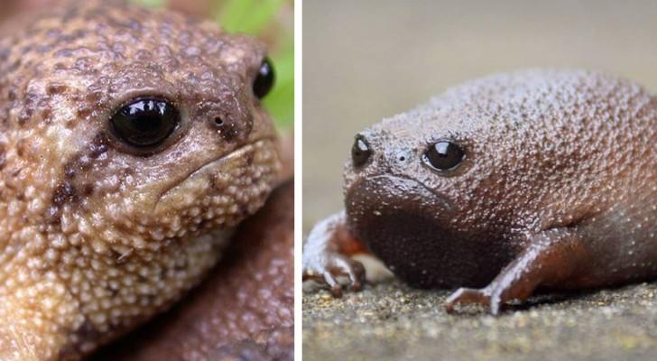 Avec son expression grincheuse, la grenouille de pluie du désert semble être l'animal le plus agacé de la Terre