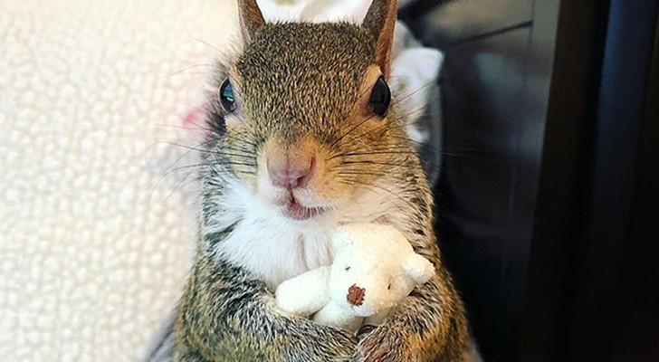 Sauvé d'un ouragan, cet adorable petit écureuil ne se sépare jamais de son nounours