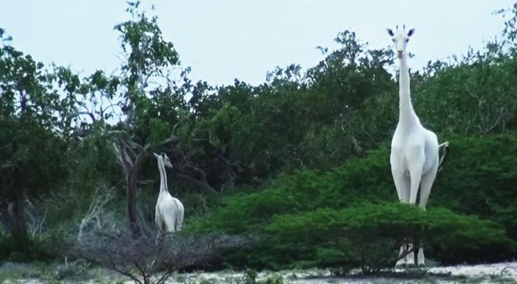 Deux girafes complètement blanches se promènent entre les arbres au Kenya : un événement rarissime