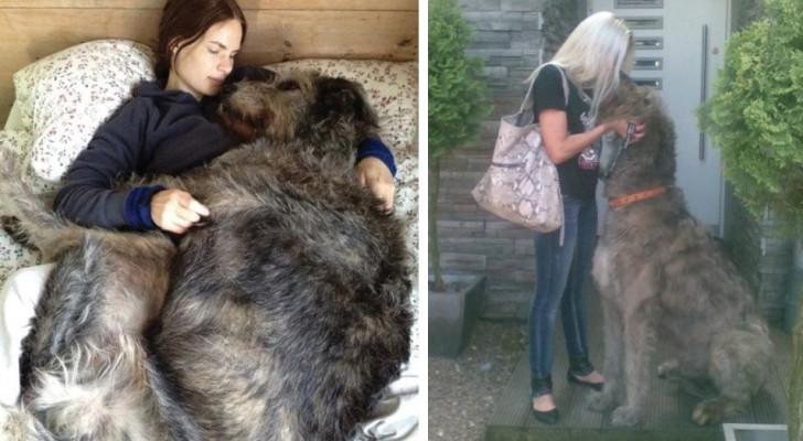 Der sanfte Riese: 11 Fotos, die die ganze majestätische Schönheit des irischen Wolfshundes zeigen