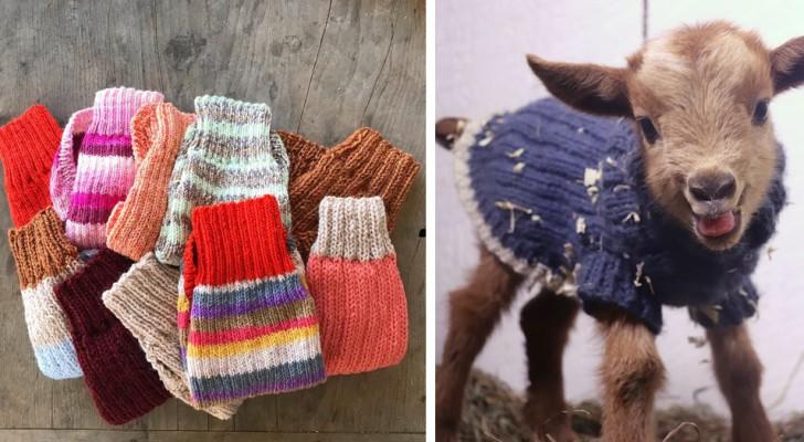 Auf diesem Bauernhof tragen Ziegenjungen warme Wollpullover, um sich vor der Kälte zu schützen