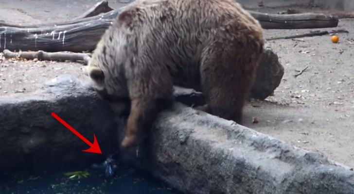 O urso herói