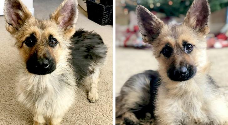 Ranger, der kleinwüchsige deutsche Schäferhund, der für immer klein bleiben wird