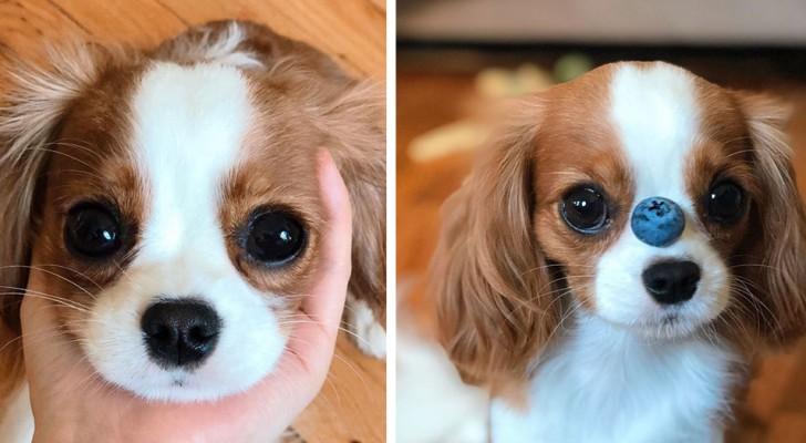 Dieser 2-jährige Hund ist so klein, dass er immer noch wie ein Welpe aussieht