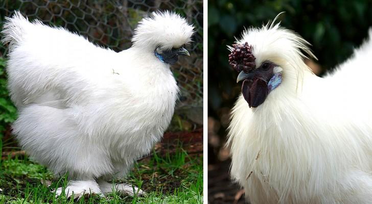 La gallina Moroseta: il volatile così morbido da sembrare un peluche