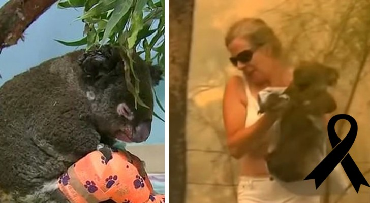 Auf Wiedersehen Lewis. Der vor den Flammen gerettete Koala hat es nicht geschafft: Die Verbrennungen waren zu groß