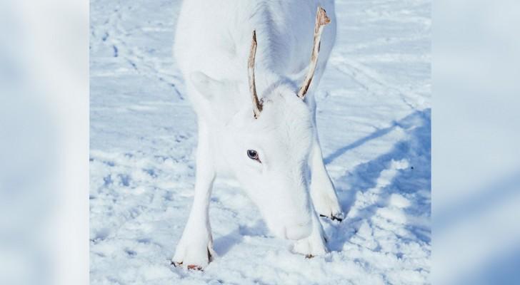 Dit zeldzame witte rendier gespot in Noorwegen ziet eruit als een dier uit een sprookje
