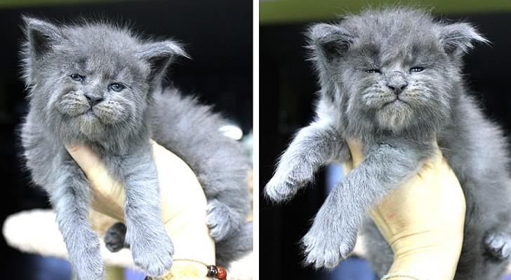 Bezaubernd, aber mürrisch: Diese Maine Coon Katzenjungen haben einen unvergesslichen Ausdruck