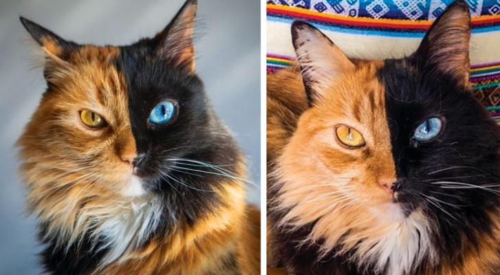 Deze kat heeft chimerisme, een zeldzame genetische aandoening: haar gezicht is verdeeld in 2 helften met verschillende kleuren