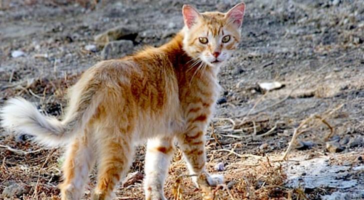 Découverte en Corse d'un rare chat-renard : son ADN est différent de celui des autres félins