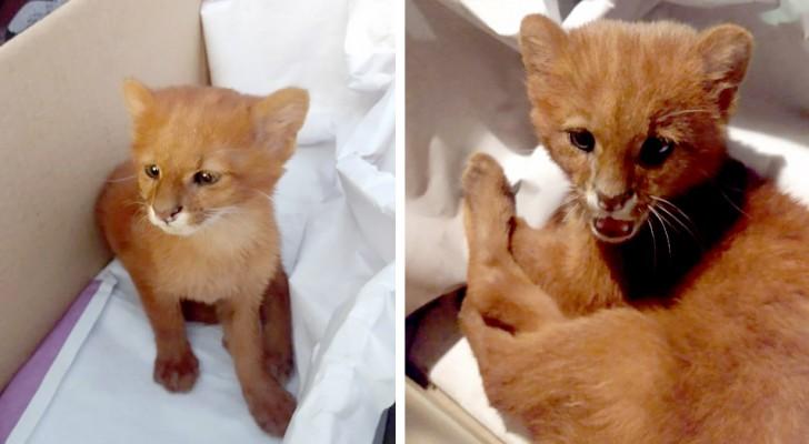 Salva un gattino dalla strada, ma dopo due mesi scopre che è un cucciolo di puma