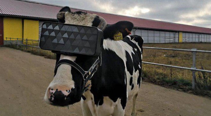 Gli allevatori hanno usato gli occhiali VR per far rilassare le mucche, ottenendo una maggior produzione di latte