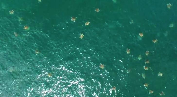 """Een drone slaagt erin om een enorme """"bijeenkomst"""" van zeeschildpadden te filmen, een van de grootste ooit gedocumenteerd"""