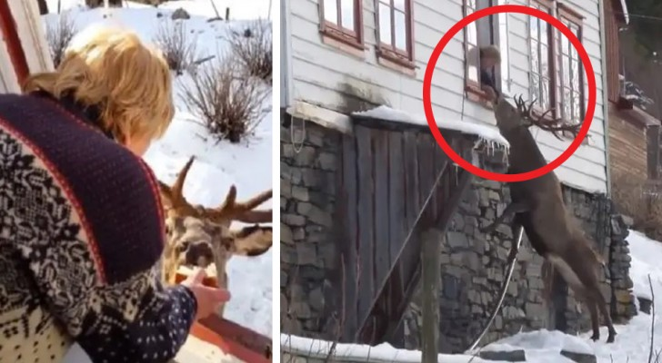 Every day this stag deer visits a lonely elderly lady and a wonderful friendship is born