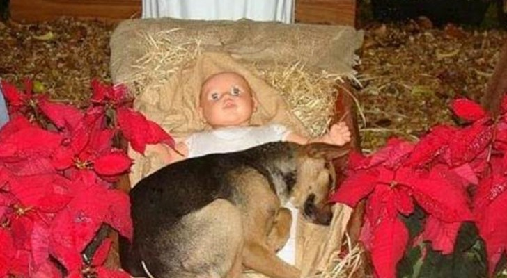 Um filhote de pastor alemão encontra refúgio em um presépio da cidade depois de ter sido abandonado