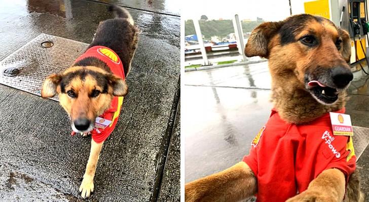 Den här lilla hunden välkomnar kunderna på bensinmacken iklädd uniform och sätter verkligen ett leende på folks läppar