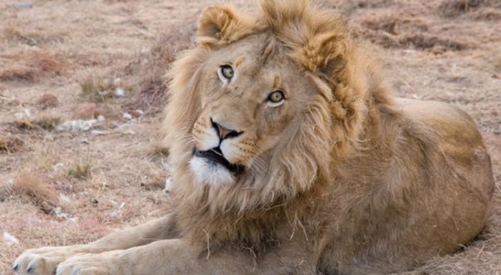 In Africa vive la metà dei leoni rispetto a 25 anni fa: ora è un animale a rischio estinzione