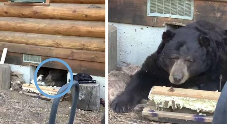 Une famille a découvert qu'un ours géant avait emménagé juste sous leur maison