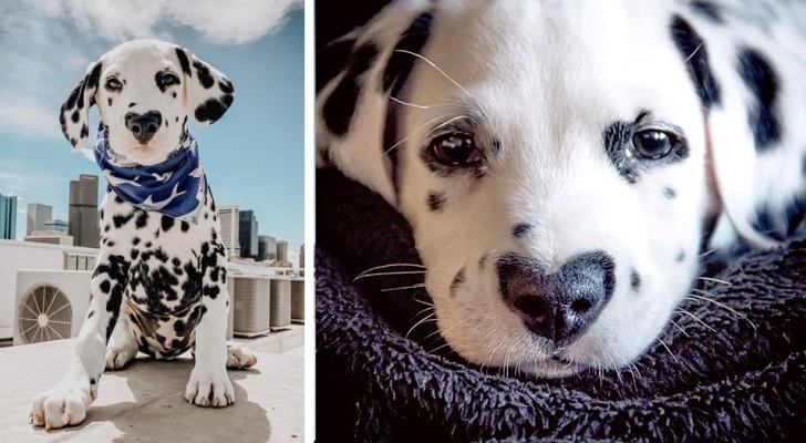 Wiley, der Dalmatiner, der mit einem Herzen auf der Nase geboren wurde und zu einer wahren Berühmtheit geworden ist