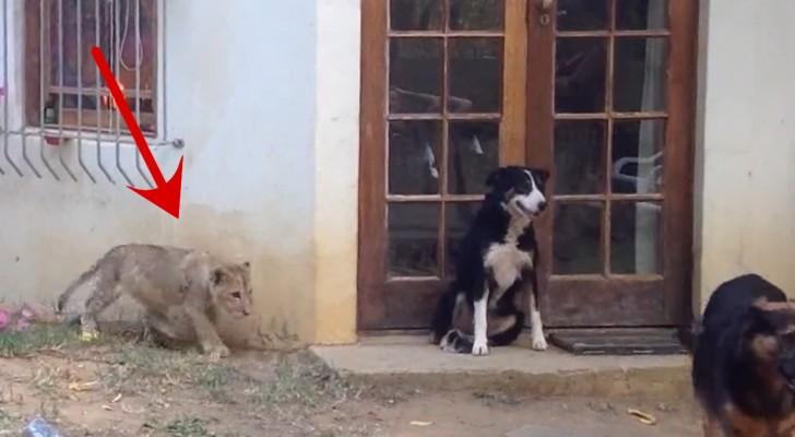 Jeder von uns würde so reagieren, wenn er einen Löwen hinter sich sehen würde, auch wenn er noch so klein ist