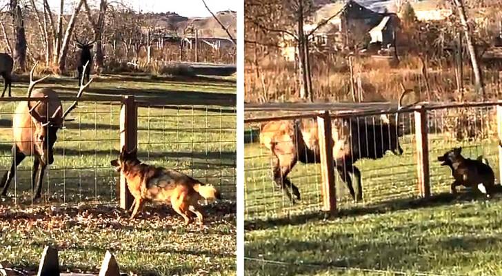 L'improbabile amicizia tra un alce e un pastore tedesco: giocano e si divertono come fossero della stessa specie