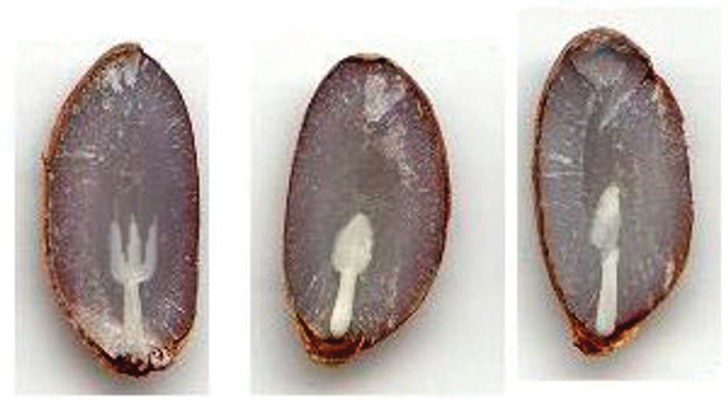 Die alte bäuerliche Tradition, den Winter mit Kakikernen vorherzusagen