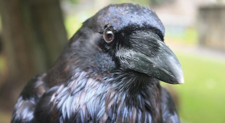 Les corbeaux gardent rancune contre ceux qui les traitent mal et la partagent aussi avec d'autres oiseaux : une étude le révèle