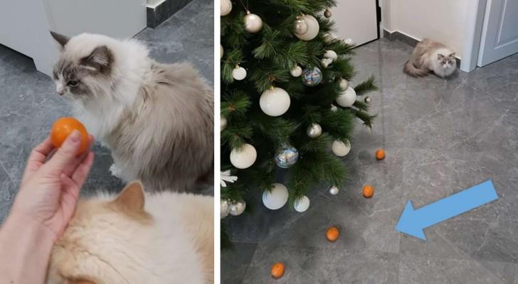Ihre Katze hasst Mandarinen: Ihr Frauchen benutzt sie, um ein Schutzschild für den Weihnachtsbaum zu schaffen