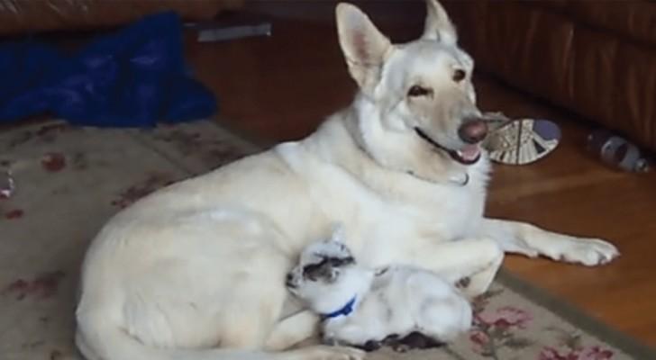 Un cane si prende cura di una capretta e la tratta come se fosse suo figlio