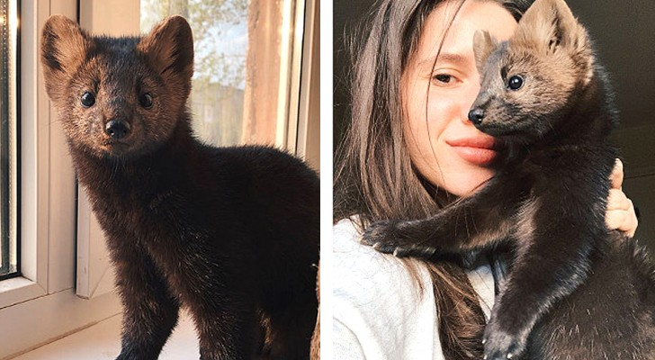 Una ragazza salva uno zibellino in un allevamento per pellicce in Russia e decide di adottarlo