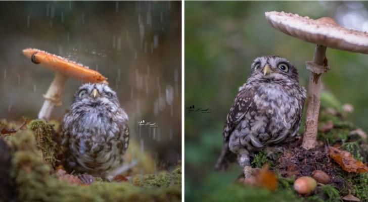 Een fotografe portretteert een kleine uil die onder een paddestoel voor de regen schuilt