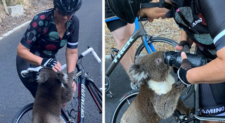 Un koala désespéré grimpe sur le vélo d'une femme pour boire à sa gourde : le thermomètre atteint 40°