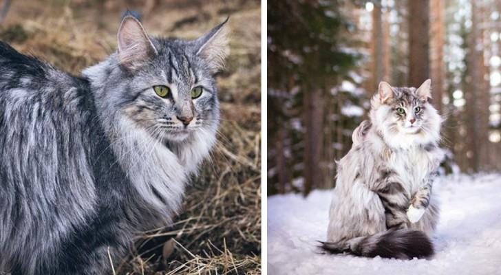 Il Gatto delle foreste norvegesi, il felino dal fascino magnetico amato fin dai tempi dei Vichinghi