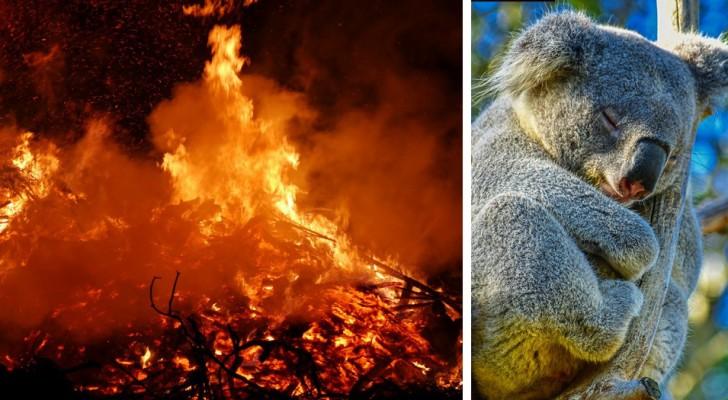 Les incendies en Australie auraient causé la mort de 480 millions d'animaux, révèlent les chercheurs