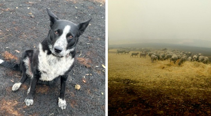 This brave border collie saved her owner's flock of sheep from a dangerous bushfire in Australia