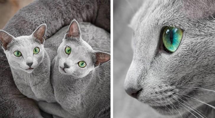 Diese 2 blauen russischen Kätzchen verzaubern jeden mit ihren grünen Augen und silbernen Haaren...