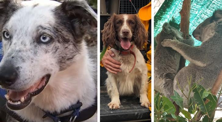 Bear e Taylor, i cani coraggiosi che fiutano i koala e li salvano dai devastanti incendi australiani