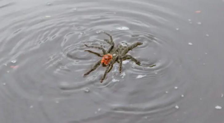 Les tarentules qui nagent et flottent sont le nouveau cauchemar de tous les arachnophobes