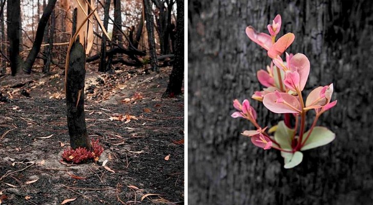 Ondanks de verwoestende branden weigeren Australische bossen te sterven en zijn de eerste scheuten ontstaan