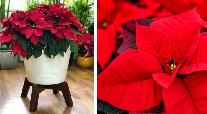 5 simple tips to keep your lovely poinsettia plant alive even after the holidays