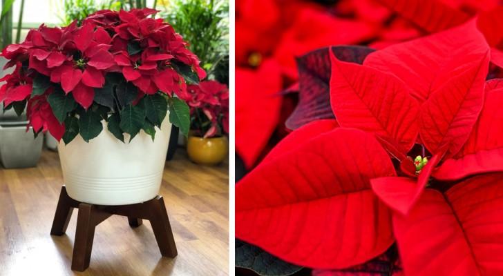 5 conseils simples pour garder en vie votre étoile de Noël même après les fêtes