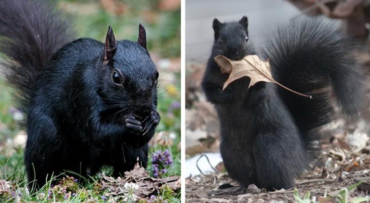 Zwarte eekhoorns: een zeldzame en fascinerende mutatie ontstaan uit de kruising van twee verschillende soorten