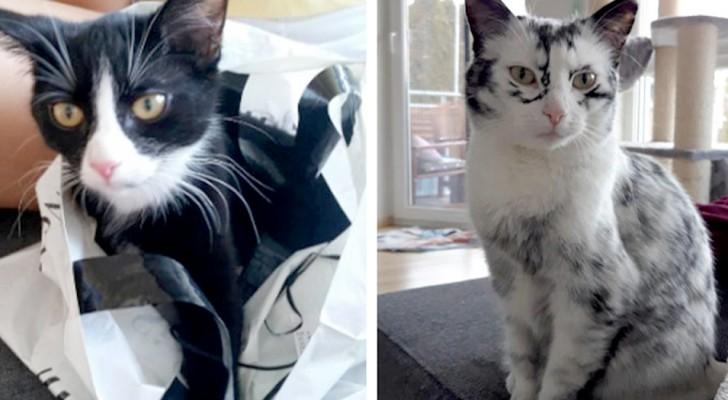 Ce chat adorable est atteint de vitiligo : les images avant et après sa rare transformation