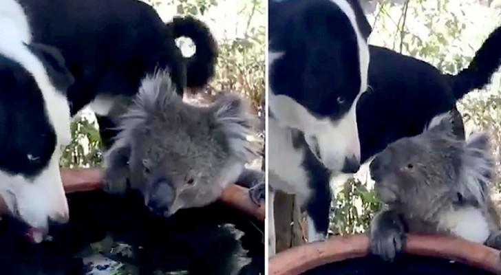 Un chien et un koala assoiffé font équipe et partagent le même bol d'eau