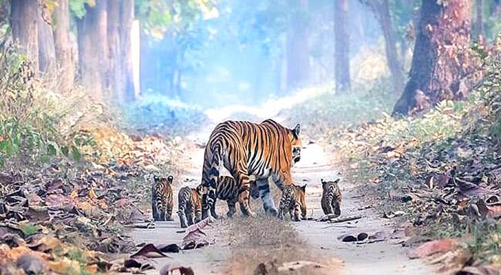 Un uomo riesce a immortalare una splendida tigre che passeggia nella foresta con i suoi 5 cuccioli