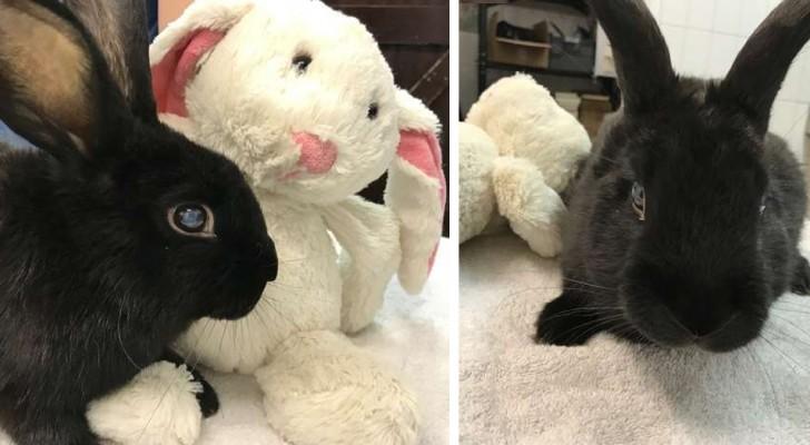 Questo coniglietto cieco è stato abbandonato in una scatola di cartone assieme al suo peluche preferito