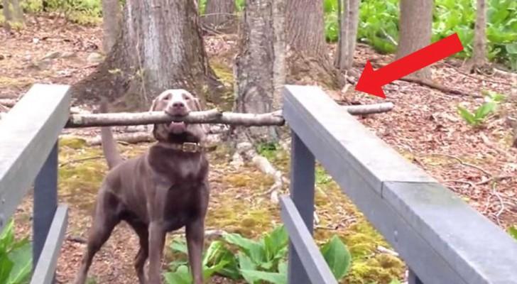 Deze hond moest lang en diep nadenken over hoe hij een brug kon oversteken met een gigantische tak tussen zijn tanden