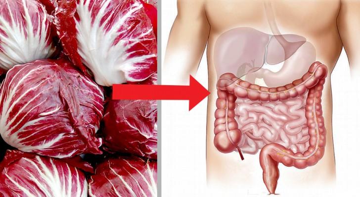 La chicorée pain de sucre est un légume riche en propriétés antioxydantes pouvant aider à nettoyer le tractus intestinal